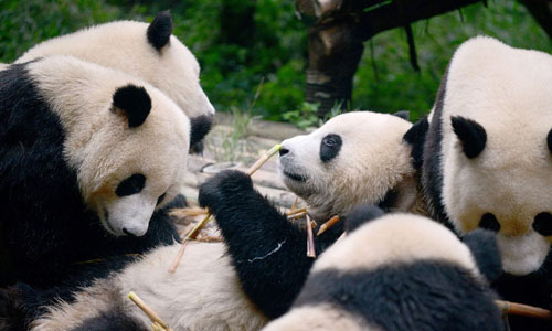 Picture of pandas
